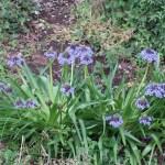 Portuguese squill/ オオツルボ 花の咲いている様子