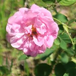 Old garden rose/ Damask/ Rose de Mai 花の姿