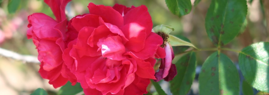 Species Cross/ Rosa rugosa scarlet/ ロサ ルゴーサ スカーレット