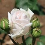 Old garden rose/ Bourbon/ Souvenir de la Malmaison スヴニール・ド・ラ・マルメゾン 花の様子