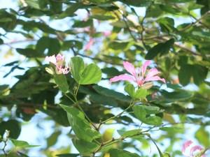 Bauhinia blakeana/ アカバナハカマノキ 花の咲いている様子