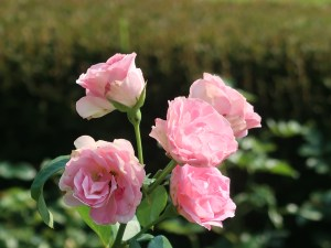 Modern garden rose/ Floribunda Strawberry Ice ストロベリーアイス