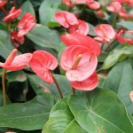 Anthurium アンスリウム 花の様子