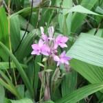Philippine ground orchid/ コウトウシラン 花の様子