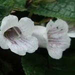 Sinningia hybrids/ オオイワギリソウ属 花の姿