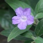 Fringeleaf wild petunia/ リュエリア フミリス