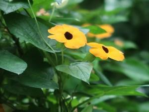 Black-eyed Susan vine/ ヤハズカズラ 花の様子