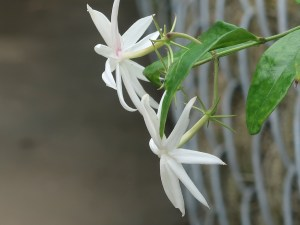 Angelwing Jasmine/ オオシロソケイ 花の様子
