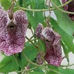 Aristolochia westlandii/ ムクゲパイプバナ 花の様子