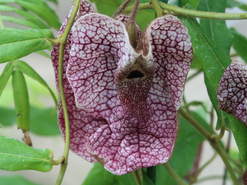 Aristolochia westlandii/ ムクゲパイプバナ