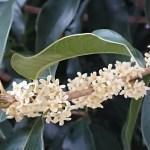 TTea olive/ ギンモクセイ 花の様子