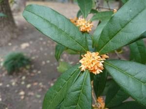 Fragrant olive/ キンモクセイ 花の咲いている様子