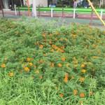 French marigold フレンチ・マリーゴールド 花の咲いている様子