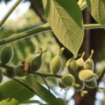 Japanese walnut オニグルミ 若い実の様子