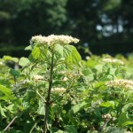 Linden viburnum ガマズミ 花の咲いている様子