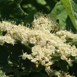 Linden viburnum ガマズミ 花の姿