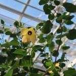 Hibiscus glaber/ モンテンボク 花の咲いている様子