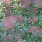 European smoketree/ ハグマノキ 花の咲いている様子