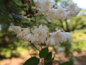 Crenate Deutzia (double)/ シロバナヤエウツギ 花の様子