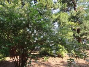 Crenate Deutzia (double)/ シロバナヤエウツギ 花の咲いている木の様子