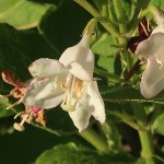 Weigela coraeensis var. fragransニオイウツギ 花の姿