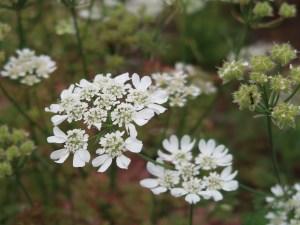 Orlaya/ オルレア 花の姿