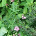 Great masterwort/ アストランティアマヨール 花の咲いている様子
