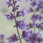 Catmint/ キャットミント Nepeta × faassenii? 花の姿