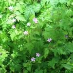 Herb-Robert/ ヒメフウロ 花の咲いている様子
