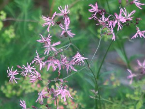 Ragged-Robin/ カッコウセンノウ 花の咲いている様子