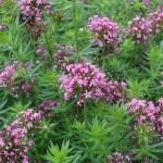 Caucasian crosswort / ハナクルマバソウ 花の様子