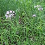 Allium アリウム 花の様子