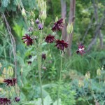 Common columbine/ セイヨウオダマキ 花の咲いている様子