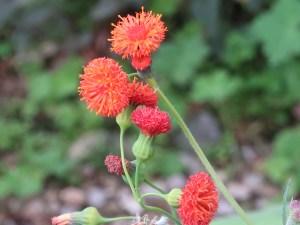 Tassel Flower/ ベニニガナ