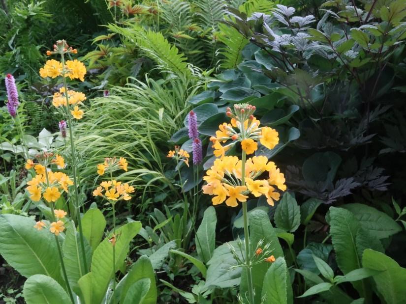 Candelabra primrose / キバナクリンソウ