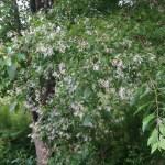 Chinese Fringetree/ ナンジャモンジャ ヒトツバタゴ 花の咲いている様子