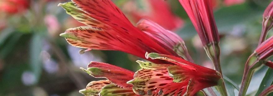 Peruvian lily/ ユリズイセン 花の姿