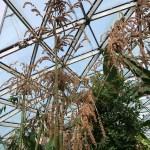 Taiwan Giant Bamboo/ マチク 花(実)をつけている姿