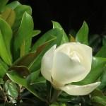 Southern magnolia/ タイサンボク 開花寸前の花