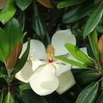 Southern magnolia/ タイサンボク 花の姿