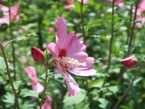 Rose of Sharon/ ムクゲ 花の姿