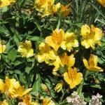 Alstroemeria/ アルストロメリア 花の咲いている様子