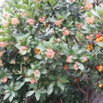 strawberry tree/ イチゴノキ 花と実のなっている様子