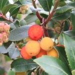 strawberry tree/ イチゴノキ 花と実の様子