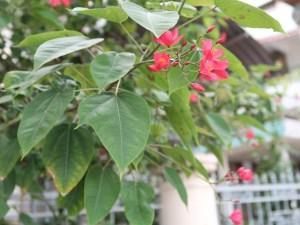 Peregrina/ テイキンザクラ 花の咲いている様子