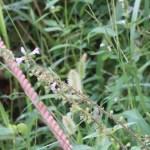 East Asian sage/ アキノタムラソウ 花の咲いている様子