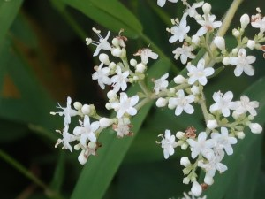 Patrinia villosa/ オトコエシ 花の姿