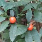 Jerusalem cherry/ タマサンゴ 実の様子