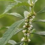 Bugleweed/ シロネ 花の様子