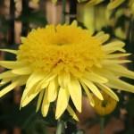 Florist's daisy/ キク 丁子菊